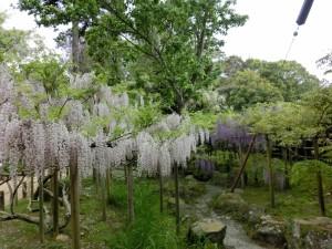 万葉植物園の藤は棚を作ってもらってお行儀よく美しく咲いていました