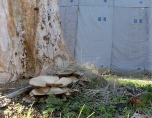 ひこばえも刈られ枯れ木になった根元に直径20センチ以上のキノコがはえました。