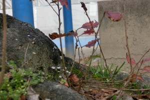 このことひこばえが共存する木株。春に緑の芽を・・・ 思いが届くといいのですが・・・