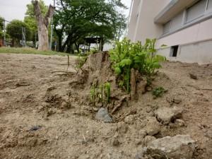 工事で砂をかぶり根がむき出しになっても元気です