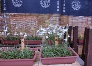 御神花は野性ではありません。鉢植えで大切に育てられています。