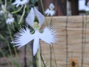 白鷺が飛んでいるようなギザギザの繊細な花弁がたまりません。